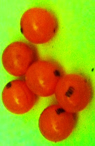 _THC_ 10mg Marinol (Dronabinol)